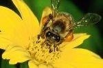Пчелы лечат людей своим молоком