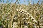 Употребление хлеба из необработанного зерна помогает бороться с гипертонией
