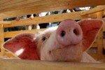 Треть россиян считает свиной грипп выдумкой