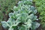 Антираковая грядка – лечение страшного заболевания овощами