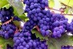 Виноград защищает от диабета и болезней сердца