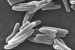 Туберкулезные бактерии