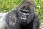 В заражении людей малярией обвинили горилл