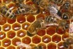 Мед может привести к гипертонии и болезням почек