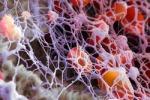 Из стволовых клеток впервые получены тромбоциты