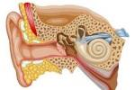 Тугоухость предложили лечить стволовыми клетками носа