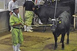 Скандал: в японской говядине нашли радиоактивный цезий