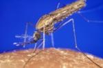 К борьбе с малярией привлекут бесплодных комаров-самцов