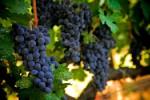 Экстракт косточек винограда помогает бороться с болезнью Альцгеймера