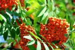 Такая красивая и полезная ягода-рябина