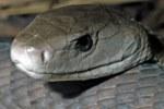 Открытие: яд одной из самых опасных змей на планете содержит обезболивающее