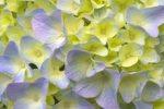 Ученые обнаружили в растении универсальное противовоспалительное средство
