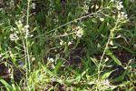 Лечебный сорняк