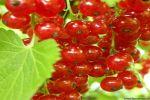 Использование красной смородины в народной медицине