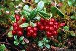 Чудо-ягода с болот