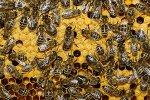 Подмор пчел. Настойка