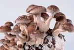 Японские грибы уничтожают вирус папилломы человека не хуже лекарств