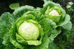 Простая белокочанная капуста