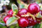 Брусника - ягода здоровья и молодости