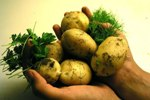 Обыкновенный картофель в народной медицине