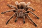 Яд тарантула спасет от боли