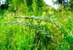 Целебное растение - пырей