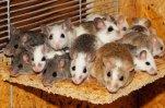 Ученые из США и Британии вылечили от ВИЧ-инфекции партию грызунов